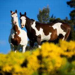 Klacze America Paint Horse wiosną wśród kwiatów