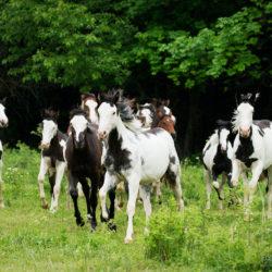 Stado roczniaków American Paint Horse galopujące po łące