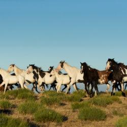 Stado koni APH kłusujące w górach