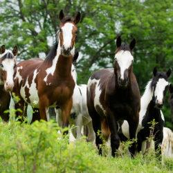 Stado roczniaków American Paint Horse na łące