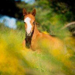 Źrebak American Paint Horse wśród kwiatów