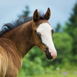Źrebak American Paint Horse portret wiosenny