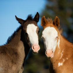 Portret źrebaków American Paint Horse