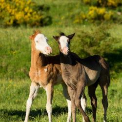 Bawiące się źrebaki American Paint Horse