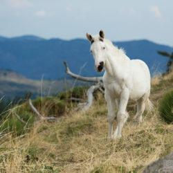 Źrebak APH w górach Francji