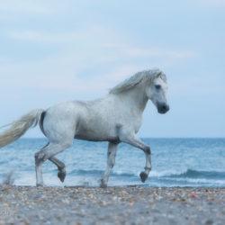 Koń Camargue kłusujący po plaży