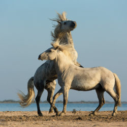 Fighting Camargue stallions
