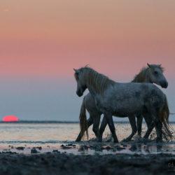 Camargue stallions playing at sunrise