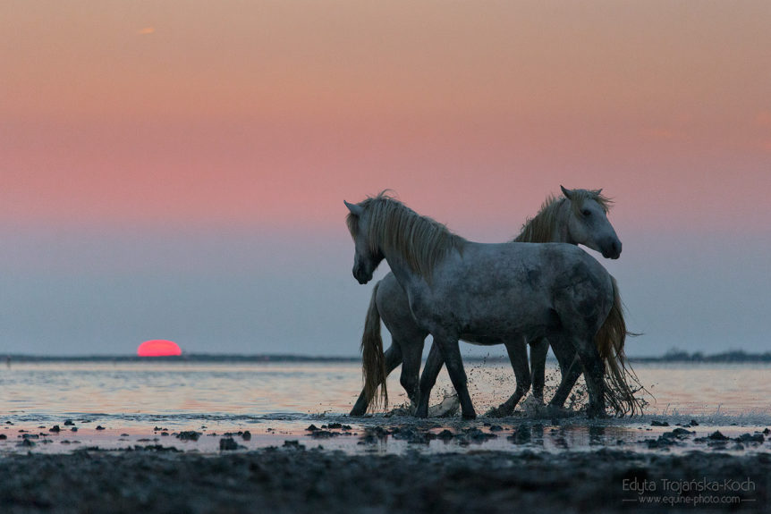 Camargue stallions playing at sunrise