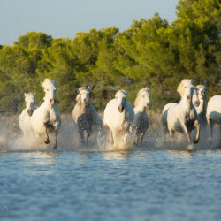 Herd of Camargue mares galloping through the water