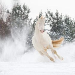 Ogier achałtekiński albinos galopujący po śniegu