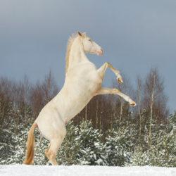 Ogier achałtekiński albinos wspinający się na śniegu