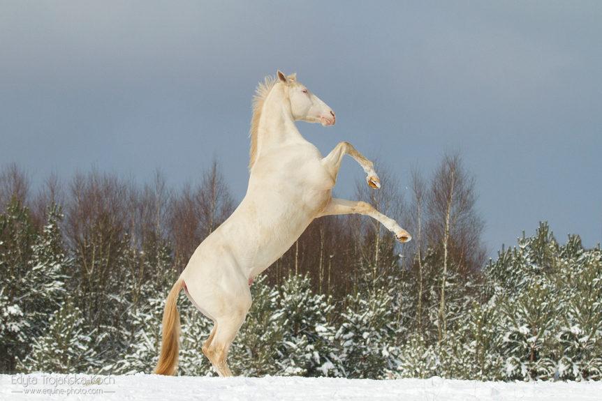 Akhal Teke albino stallion rising in winter