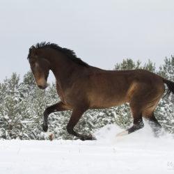 Ogier achałtekiński galopujący po śniegu