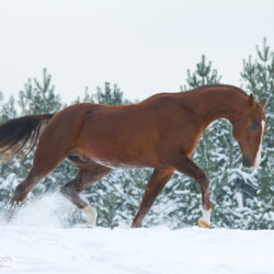 Ogier achałtekiński kłusujący po śniegu