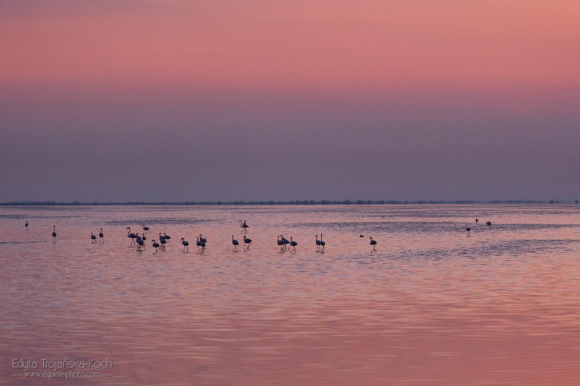 Flamingi o wschodzie słońca w Camargue