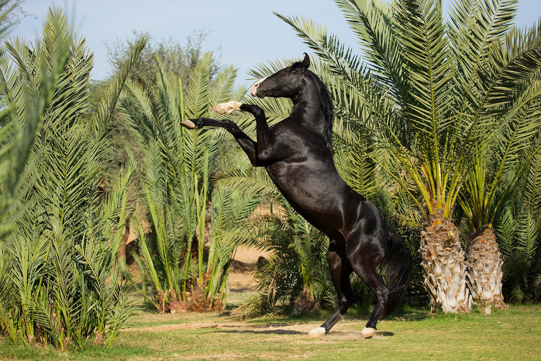 Kary ogier Marwari wspinający się na tle palm