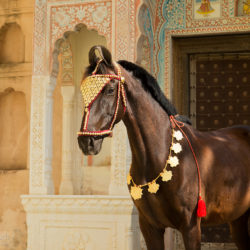 Portrait of Marwari mare at the castle in Mandawa