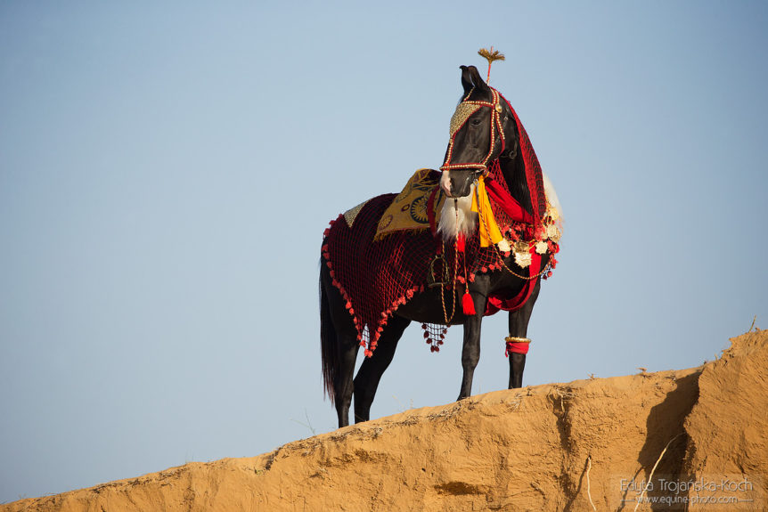 Marwari mare on the sand