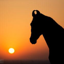 Portret klaczy Marwari o wschodzie słońca
