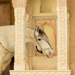 Portret klaczy Marwari na zamku w Mandawie