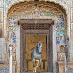 Grey Marwari mare standing in the door of haveli in Mandawa