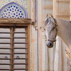 Portret siwej klaczy Marwari w haveli