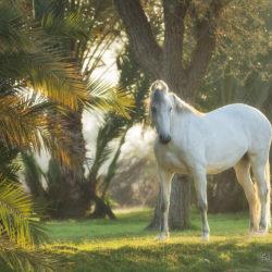 Siwa klacz Marwari pod palmami o wschodzie w Indiach