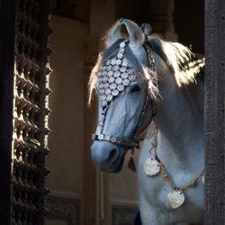 Portret siwej klaczy Marwari w haveli w Mandawie