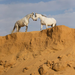 Grey Marwari mares on the top of sandy hill