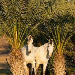 Siwe klacze Marwari pod palmami w Indiach