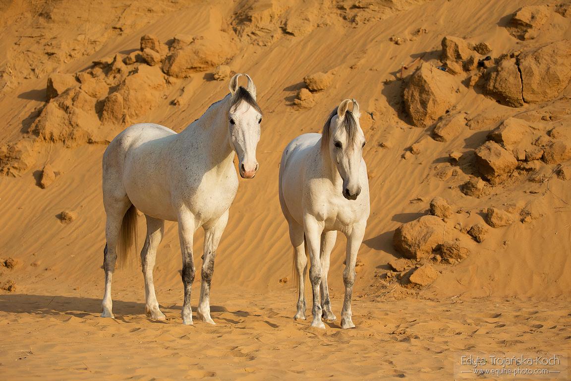 Siwe klacze Marwari na piasku