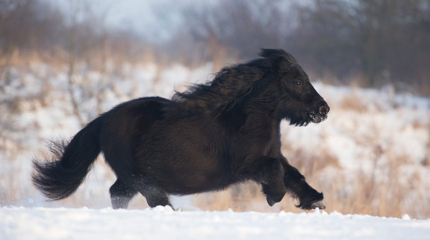 Shetland pony mare galloping through the snow