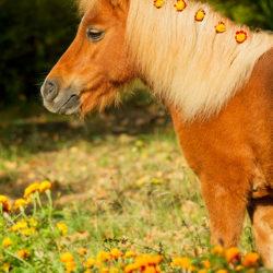 Portret kuca szetlandzkiego z kwiatami w grzywie