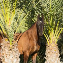 Portret gniadej klaczy Marwari wśród palm