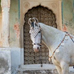 Portret klaczy Marwari na tle zamku