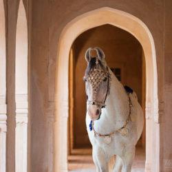 Siwa klacz Marwari na zamku w Mandawie