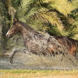 Klacz Marwari galopująca przez wodę na tle palm