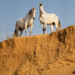 Siwe klacze Marwari na piasku na tle nieba