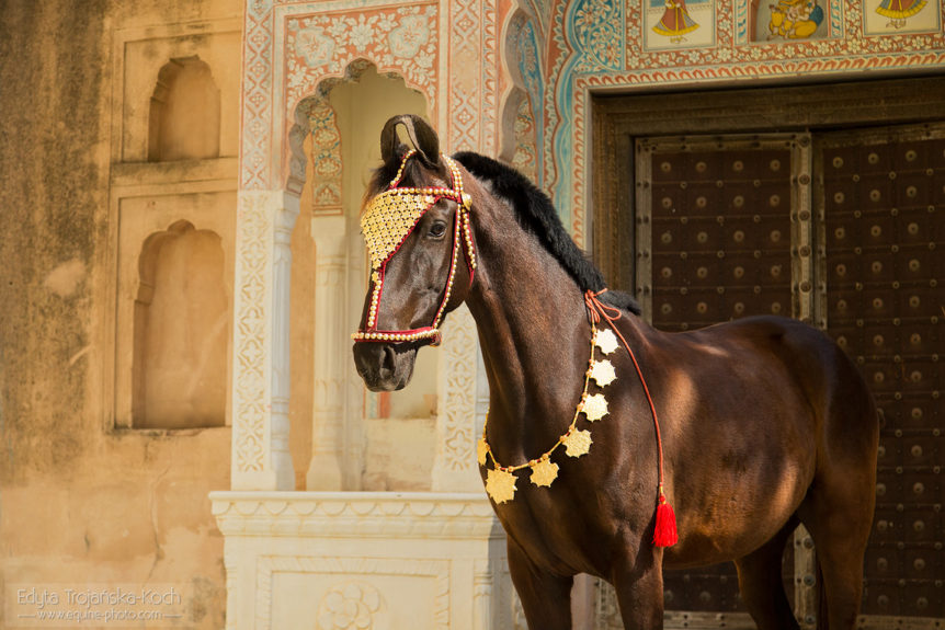 Marwari mare Mumal at the castle