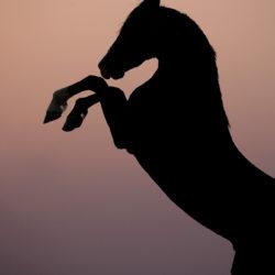 Kary ogier Marwari wspinający się na tle nieba