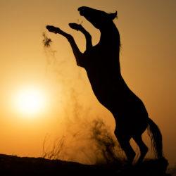 Kary ogier Marwari wspinający się na tle zachodzącego słońca