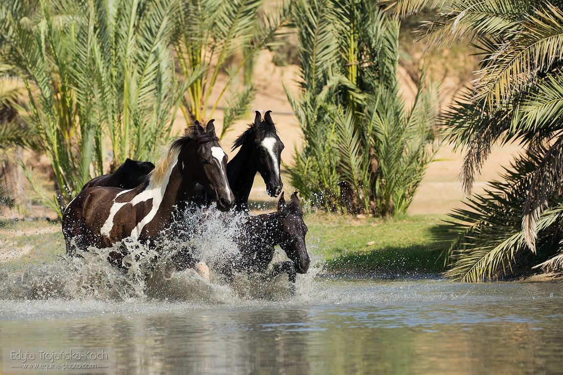 Konie Marwari w wodzie wśród palm