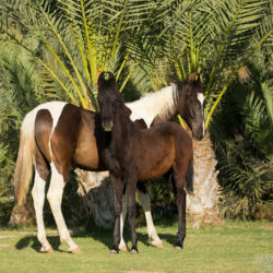 Źrebaki Marwari wśród palm