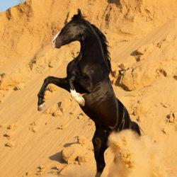 Kary ogier Marwari wspinający się na piasku