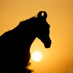 Portret ogiera Marwari o wschodzie słońca