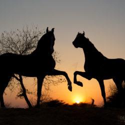 Ogiery Marwari o zachodzie słońca