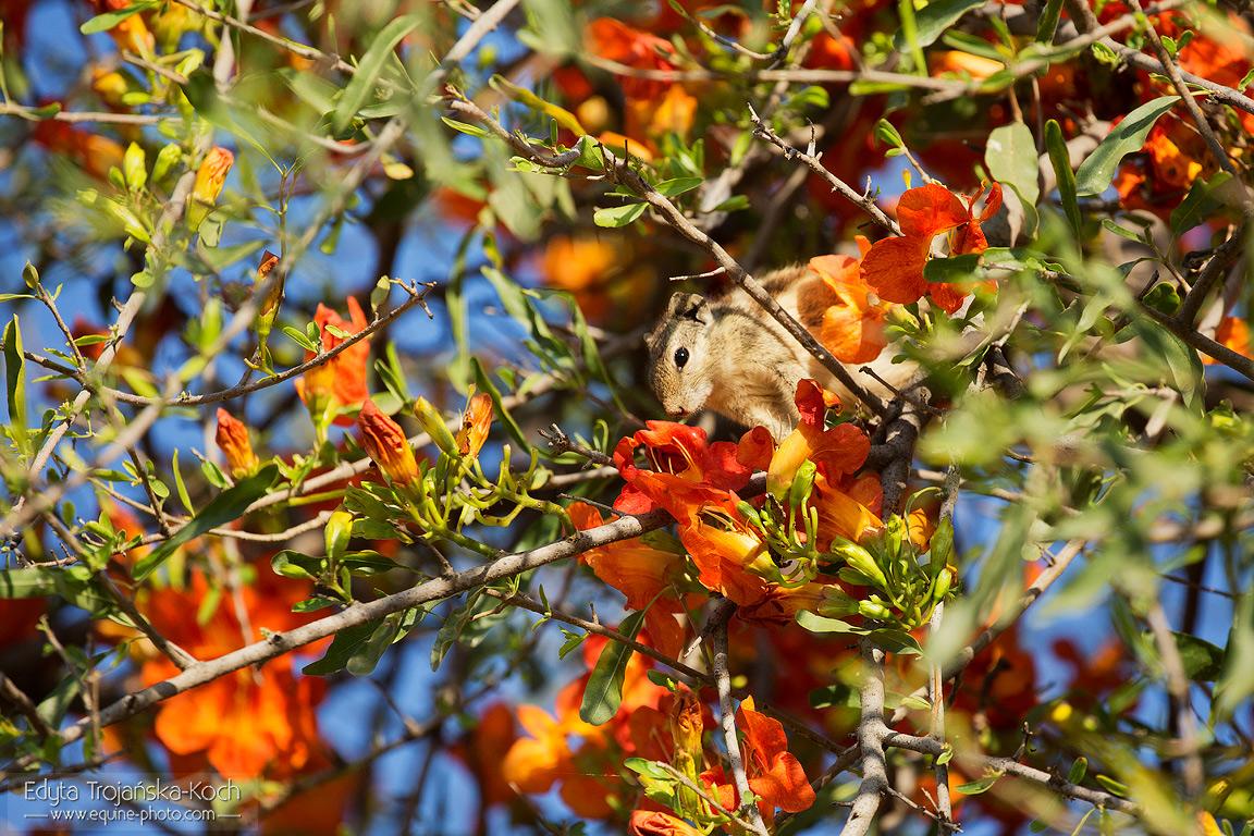 Wiewiórka na ukwieconym drzewie w Indiach