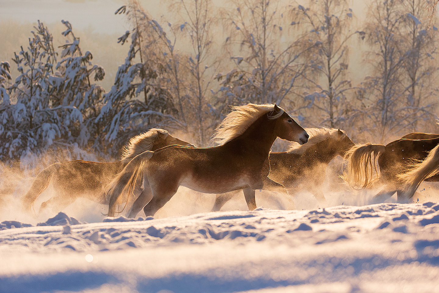Haflingers at sunrise in winter