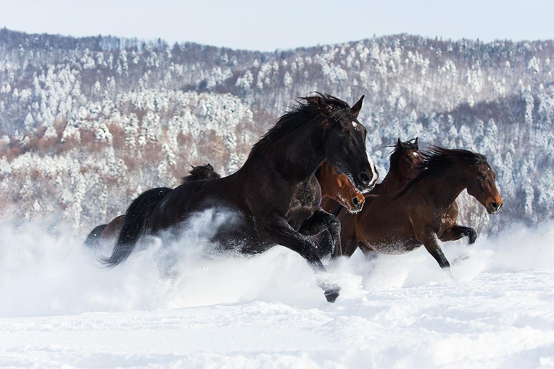 Stado koni galopujące zimą w górach